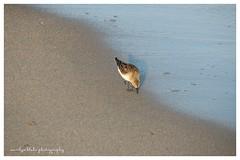 Sandpiper Strolling (mblakephoto) Tags: ocean summer bird beach water fun outdoors sand capecod massachusetts sandpiper cba shorebird craigvillebeach craigvillebeachassociation