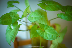 Green Plant (Sam & Sophie Images) Tags: plant green home 35mm sony indoors speedmaster f095 zhongyi a7r