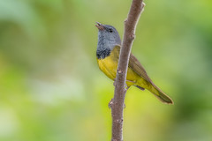 Mourning Warbler (Joe Branco) Tags: green nature birds branco outdoors wildlife joe songbirds nikond500 joebrancophotography lightroomcc2015 photoshopcc2015 morningwarbler