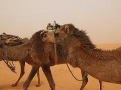 The Sahara near Ksar Ghilane (   ) (twiga_swala) Tags: sea sahara landscape sand scenery dune tourist dromedary camel arabian excursion tunisie ksar ghilane  erg    kebili   kbili   governorate   gouvernorat