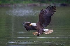 Talons Out (Adam Berry Photography) Tags: virginia nikon eagle baldeagle raptor jamesriver nikond5 nikon200500