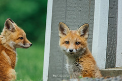 red fox kits (The Gaggle Photography | Jessica Nelson) Tags: babies wildlife fox kits kit redfox babyfox