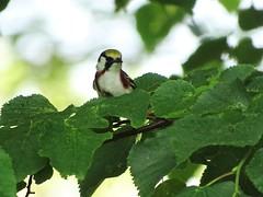 Chestnut-sided Warbler DSC03048 (BayonneBirder) Tags: bird chestnut warbler sided
