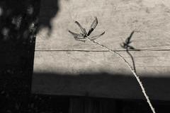 (Ivn Rubn) Tags: old light shadow plants naturaleza brown detail luz nature caf monochrome sepia contrast contraluz hojas plantas time branches dream shapes places sombra minimal textures nostalgia lugares rincones contraste instant gloom formas delicate intimate leafs minimalismo abstracto contemplative viejo abstarct texturas longing sueo contemplation subtle corners tiempo instante ramas penumbra monocromtico delicado ntimo contemplacin contemplativo impasible nimiodetalle backlightingsutil