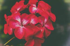 Red Geranium (MacBeales) Tags: red macro closeup canon eos 350d petals geranium