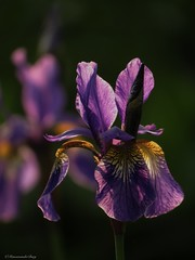 When beauty repeats itself (manonvanderburg) Tags: iris flower backlight canon garden evening mood purple zoom atmosphere depthoffield serene springtime underexposed settingsun thecoloursofspring sx60 powerrrrshot itotallylovethisflower