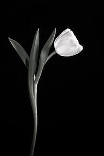 Tulip Study 4