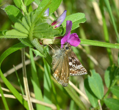 Dingy Skipper at Ryton Meadows (robmcrorie) Tags: nature butterfly wildlife meadows skipper reserve conservation coventry warwickshire dingy ryton