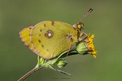 Colias crocea's portrait (jrosvic) Tags: macro yellow closeup butterfly spain nikon murcia mariposa cartagena d90 coliascrocea 105mm28micro