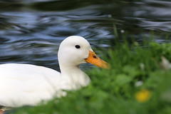 Die schne Frieda (Anja van Zijl) Tags: animal duck waterbird ente wasservogel