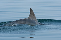 Dolphin (Shane Jones) Tags: sea nikon dolphin cardiganbay cetacean bottlenosedolphin tc14eii 200400vr d7200