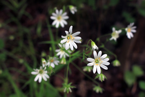 """Sternmiere (Stellaria) (01) • <a style=""""font-size:0.8em;"""" href=""""http://www.flickr.com/photos/69570948@N04/27266071616/"""" target=""""_blank"""">View on Flickr</a>"""