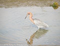Huntington Beach CA - Bolsa Chica - Reddish egret (etacar11) Tags: california egrets reddishegret egrettarufescens huntingtonbeachca bolsachicaecologicalreserve