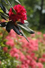 rot - red (nirak68) Tags: rot deutschland blossom mai rhododendron ericaceae blte strauch ger rosenbaum rhododendren eutin seepark 149366 heidekrautgewchs rhododendroideae schleswigholsteinkreisostholstein lgs2016 2016ckarinslinsede landesgartenschaueutin substategardenshow alterbusch