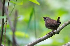 Young Common blackbird (rysykas) Tags: turdusmerula commonblackbird mustrstas 300mmf4lx14
