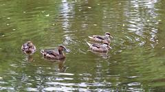 DSC08568_DxO (Franck Zumella) Tags: reflection bird water rouge duck eau teal bec reflexion oiseau canard brun mottled redbilled