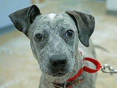 Pegasus_02 (AbbyB.) Tags: dog pet animal newjersey canine doggy shelter shelterpet petphotography easthanovernj mtpleasantanimalshelter