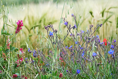 I fiori (AndMakeItSnappy) Tags: tuscany italy valdorcia wildflowers cornflowers
