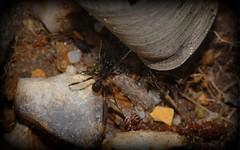 Zodariidae (dustaway) Tags: male nature australia nsw arthropoda arachnida araneae araneomorphae australianspiders northernrivers zodariidae richmondvalley antspider
