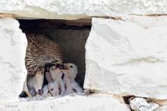 Faucon crécerelle donnant la becquée (le petit lézard est partagé) (sfrancois73) Tags: oiseau faune fauconcrécerelle