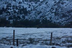 (Volvtil) Tags: chile horses naturaleza mountain snow nature animals outdoor cajondelmaipo alfalfal