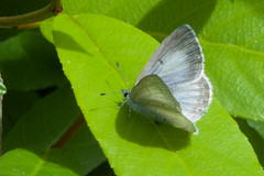 Echo Azure (Tom Clifton) Tags: butterfly pointlobos southplateau echoazure