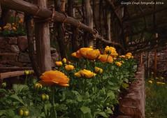 The corner flower (Crupi Giorgio (official)) Tags: italia trentino giardino fiori canon canoneos7d canon35mm italy garden flowers natura nature