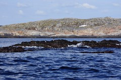DSC01590_Fotor (Jagupov Igor) Tags: sea russia north oystercatcher kola peninsula barents haematopus ostralegus 12062016
