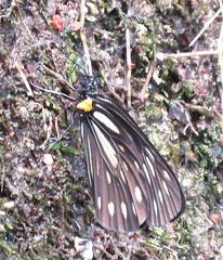 Metaporia agathon agathon, Great Blackwing (Birdernaturalist) Tags: nepal butterfly pieridae richhoyer