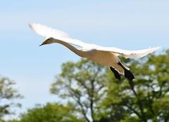 Cygnus cygnus - Whooper swan - Cygne chanteur - An alarc'h-kristilh - 05/05/16 (Philippe_Boissel) Tags: cygnuscygnus whooperswan cygnechanteur cygne captive birds anseriformes anatidae envol 0601 alarchkristilh