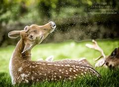 Deer Sneeze (photoga photography) Tags: england nature canon deer photogaphotography