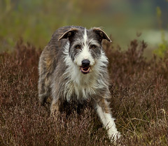 Badger -  In the heather !! (Mid Glam Sam1) Tags: wales heather badger lurcher uplands colliecross
