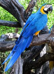 hyacinth macaw (lisafree54) Tags: blue bird nature animal yellow colorful wildlife beak feathers free parrot macaw hyacinth cco psittacine freephotos