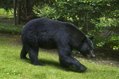 The (wide angle) view through the living room window just now (J Gilbert) Tags: black bear front yard mammal omnivore ursusamericanus home