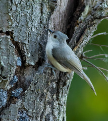 Tufted Titmouse (johnny4eyes1) Tags: nature birds wildlife titmouse tufted hempsteadlakestatepark