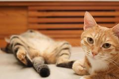 DSC09345S (lazybonessss) Tags: leica cat momo kitten nana kitten2 summicronm50 sonya7 sonyilce7