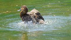 DSC08650_DxO (Franck Zumella) Tags: reflection bird water rouge duck eau teal bec reflexion oiseau canard brun mottled redbilled