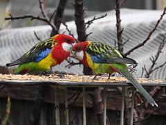 rain on rosella whole pic (jeaniephelan) Tags: birds rosella parrots australianbird australianparrots rosellaparrot