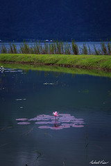 Beratan Flower (robert_vine) Tags: pink bali flower water indonesia temple purple id floating beratan baturiti