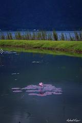 Beratan Flower (robert_vine) Tags: pink bali flower water indonesia temple purple id floating beratan baturiti