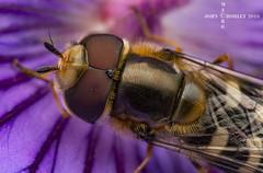 Hover detail (John Chorley) Tags: detail macro nature closeup nikon purple macros hoverfly macrophotography 2016 nikkor105mmlens johnchorley