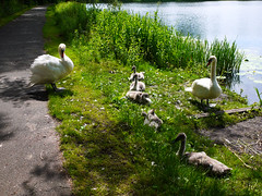 No more number 6. (Alan FEO2) Tags: white green water grass birds outdoors wings shadows path 5 five beak feathers panasonic swans longneck stokeontrent g1 cygnets dmc sneydgreen holdenpools 2oef