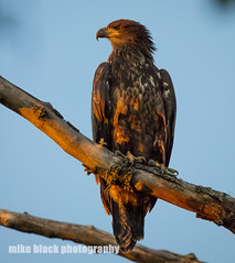 Bald EAgle at sunset (Mike Black photography) Tags: new tree bird nature canon lens is eagle birding bald nj shore jersey l usm f56 eaglet 800mm fledge 5ds