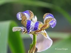 iris ( Graa Vargas ) Tags: flower iridaceae graavargas neomaricacaerulea lrioroxodaspedras pseudoris 2016graavargasallrightsreserved