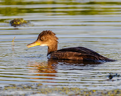 Hooded Merganser (shooter1229) Tags: nature animal outdoors wetlands hoodedmerganser lophodytescucullatus anatidae heronpark bird20iocreplaceoldbirdlist