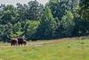 American Bison (Just BS) Tags: animal nature wildlife zoo zoosofthesouth zoosofnorthamerica aza northcarolinazoo northcarolina canon itsazoooutthere americanbison bison ungulate mammal buffalo