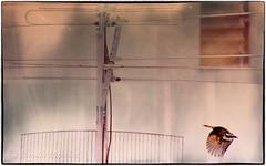 IMG_4768_edit (cnajhar) Tags: bird texture flying bemtevi aves ki photoborder kissadee