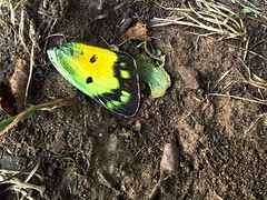 Broken Wing (tommyr68) Tags: broken yellow butterfly wing iphone iphonography
