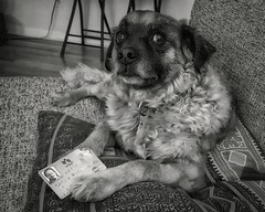 Rocket Suggests I Need a New Card (Flickr Goot) Tags: camera blackandwhite pet white black mutt phone july samsung canine galaxy rocket s6 2016 snapseed