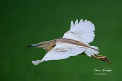 Garcilla cangrejera en vuelo (Paco Tortosa) Tags: parquenaturaldelaalbufera aves albufera garcillacangrejera garcilla cangrejera oroval ardeolaralloides ardeola ralloides